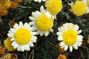 1252866_white_and_yellow_flowers